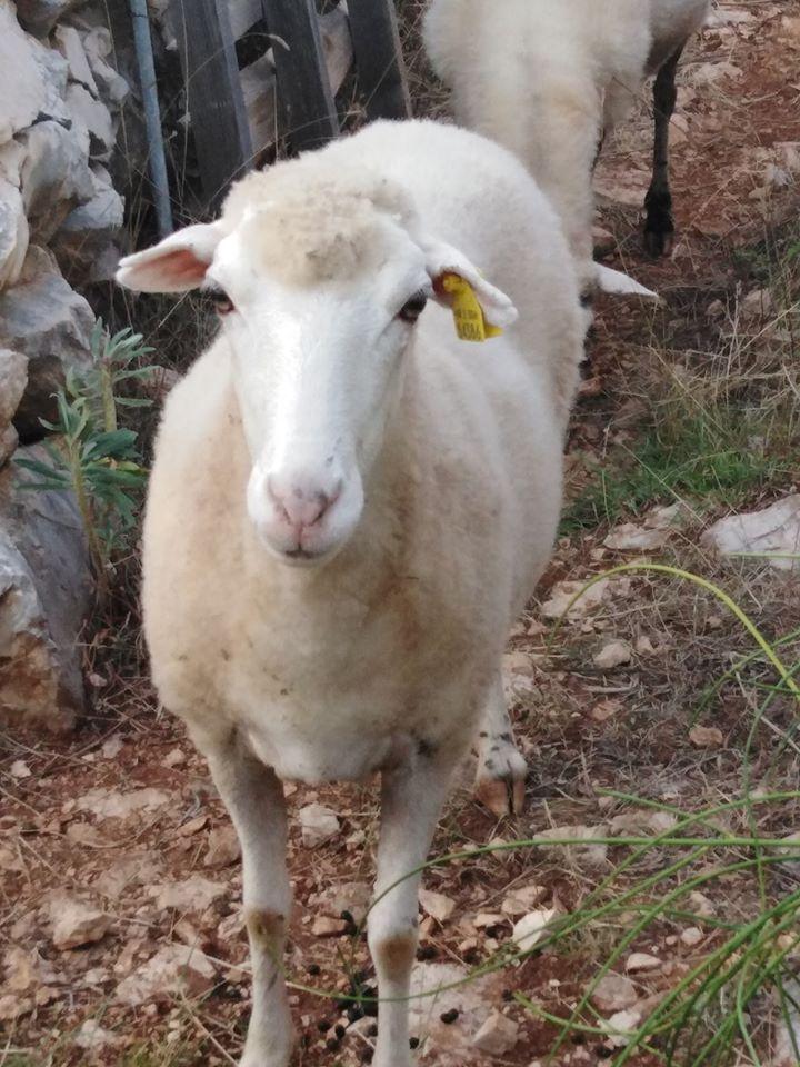 Gospođa ovca sa Paga